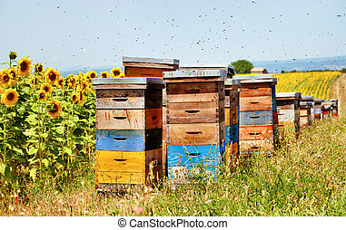 Bee hives - The hives on the sunflower field, Florence,...