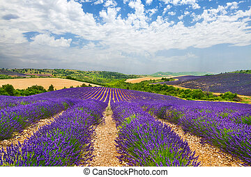 Provence with blooming lavande - Landscapes of Provence with...