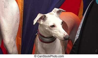 Italian Greyhound Breed greyhounds 4K - Italian Greyhound...