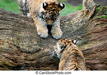 Bengal tigers cubs - Wildlife