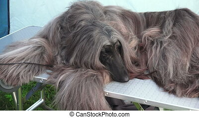 Afghan hound. Breed greyhounds.4K. - Afghan hound. Breed...
