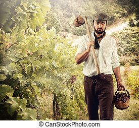 Winegrower while harvest grapes in the vineyard.