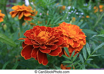 Tagetes  - French marigolds