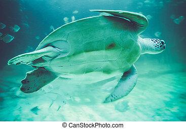 Sea turtles in oceanarium - Sea turtles in blue oceanarium