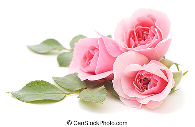 Cor-de-rosa, rosas,