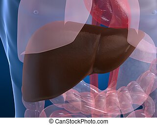 human liver - 3dc rendered illustration of a human liver
