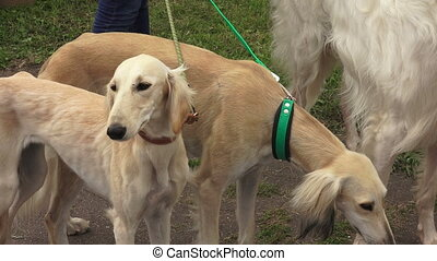 Russian Greyhound. Russian Wolfhound. Breed greyhounds. 4K....