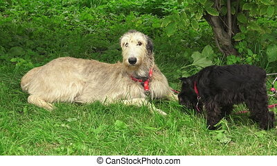 Irish wolfhound Breed greyhounds 4K - Irish wolfhound Breed...