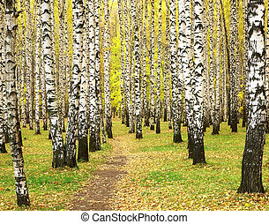 Autumn in birch grove