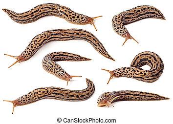 Slug - Set of spotted slugs isolated on white background