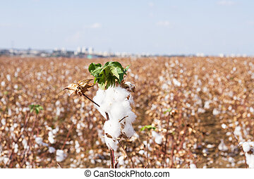 cotton fields - Photo of a cotton field after harvesting