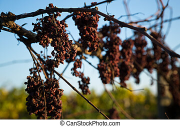 arid grape - more dried grapes