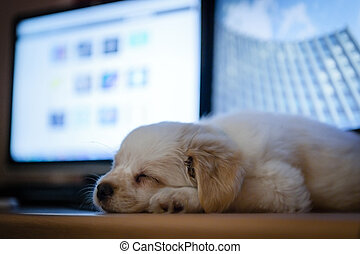 Cute puppie sleep on desk with monitors in background.