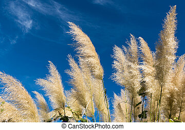 Group of pampas grass Cortaderia selloana with blue sky