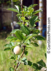 Apple tree with ripening apple - Apple tree branch with one...