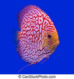 Pompadour (Discus) fish in a fish tank