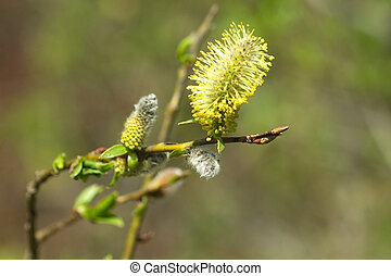 Willow branch with blossom buds