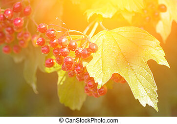 Branch of ripe berries viburnum on a background of the sun...