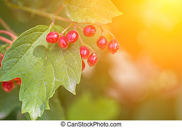 Branch of red berries viburnum on a background of the sun...
