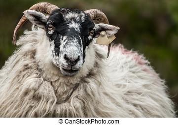 Irish Sheep in Mangerton...