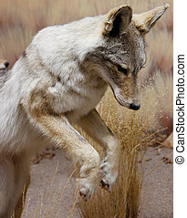 pouncing wild coyote - front legs, torso and intense face of...
