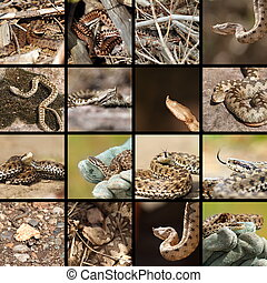 collection of romanian vipers ( Vipera berus, ammodytes and...
