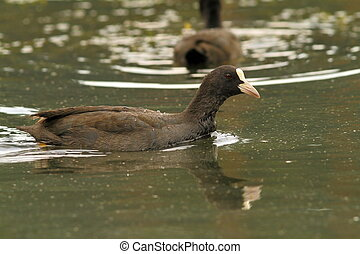 common coot swimming on pond - common coot Fulica atra...