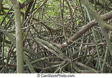 Tangled mangroves - Heavily tangled mangrove roots along bay...