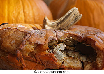 Decaying pumpkin - Pumpkin seeds are breaking out of a...