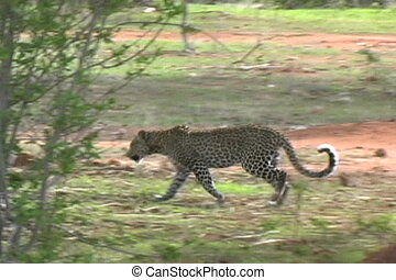 Leopard walking in Ruaha National Park Tanzania Africa