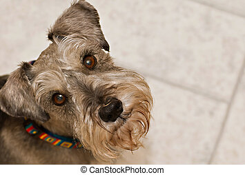 Miniature schnauzer dog - Grey miniature schnauzer dog...