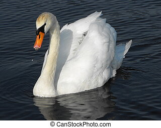 Mute Swan - Adult Mute Swan swimming