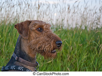 Airedale terrier dog profile portrait in front of grassy...