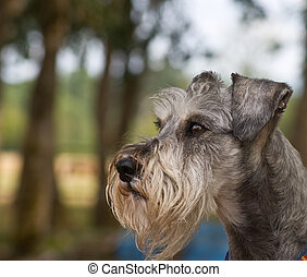 Miniature Schnuzer Outdoors in profile - Miniature schnauzer...