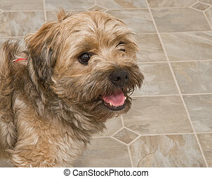 Cairn Terrier Mix Indoors on Linoleum Flooring - Bridle...