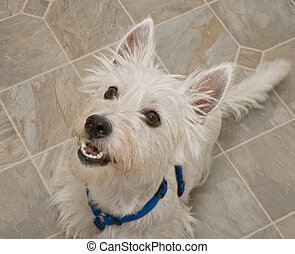 West Highland Terrier Dog Sitting and Looking Upwards -...