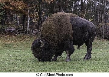 American field buffalo