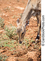 Young antilope eating in national park