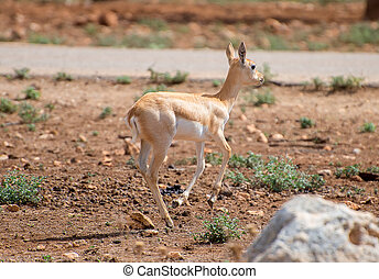 Young antilope walking in national park
