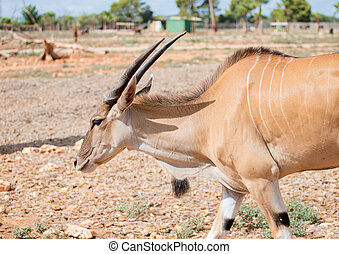 Antilope walking in national park