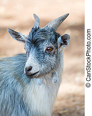 Portrait of goat in national park