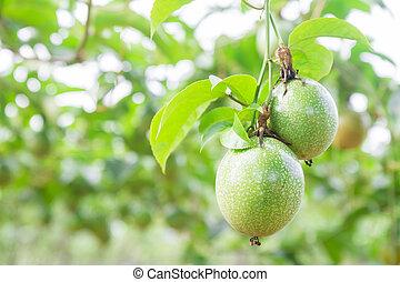 Passion fruit (passiflora edulis)