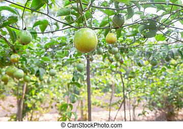 Passion fruit (passiflora edulis ), selective focus.