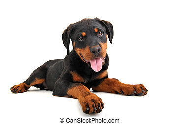puppy rottweiler - cute puppy purebred rottweiler on a white...