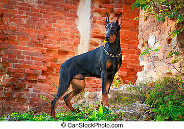 dog - Doberman Pinscher dog