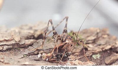 Cricket eating dead wasp - Camel cricket eating a wasp that...