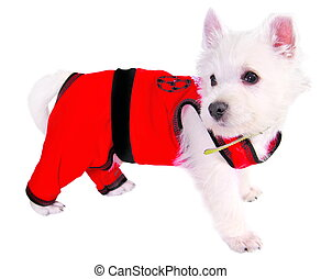 Dog in red suit isolated on white