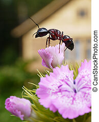 ant in the garden - garden ant on sweet william, summerhouse...