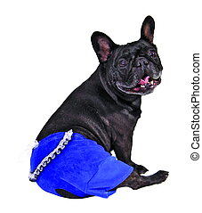 Dog in blue pants isolated on white