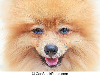 close up face of pomeranian dog